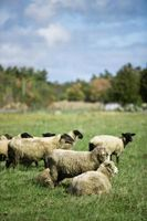 Diferencia entre la piel de oveja y piel de oveja