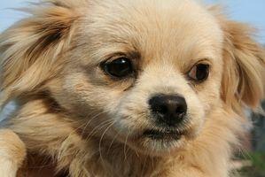 Los síntomas de la ictericia en los perros