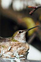 ¿Cómo los colibríes hacer un nido?