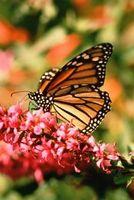 ¿Qué factores afectan la migración de las mariposas?