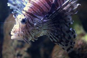 Cómo alimentar peces marinos congelados Con Mysis