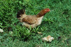 Cómo bañar una gallina