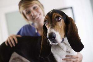 Cómo tratar a un perro con Hind Pierna Parálisis