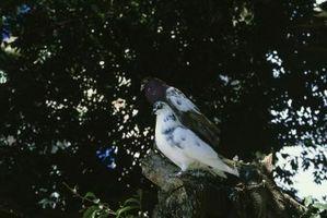 Cómo enseñar a su paloma para hacer cosas en Comando