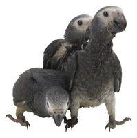 Tipos de Gray aves mascotas