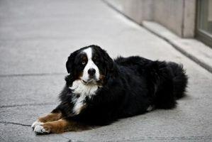 Características del perro de montaña de Bernese