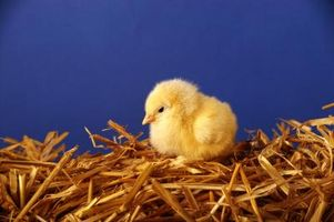 Cómo cuidar los polluelos cuando llegan