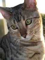 Enfermedades del gato de Bengala