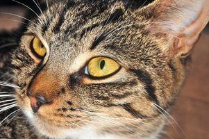 El síndrome vestibular en los gatos