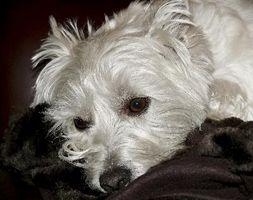 Lo que hará que un perro tiene temblores continuos?