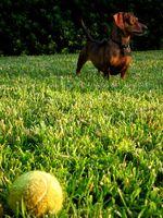 Horse Wormer para prevenir gusanos del corazón en los perros
