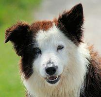 Maloliente amarillo ceroso secreción del oído en los perros