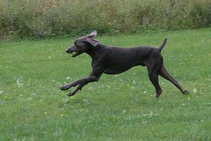 Cómo curar la hiedra venenosa en un perro