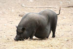 Cómo criar Cerdos de la barriga