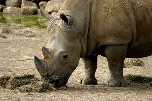 Acerca de rinocerontes blancos