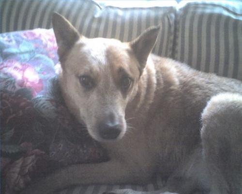 Los tratamientos alternativos para el linfoma en perros