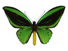 El hábitat de la mariposa de Birdwing de la reina Alexandra
