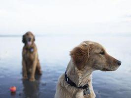 Cómo identificar los tipos de gusanos en los perros y sus curas