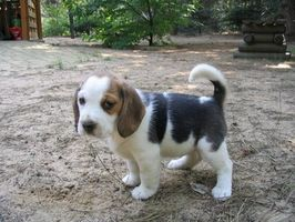 La dieta del perro Beagle