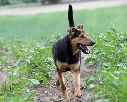 Salud del perro: Problemas Larananx