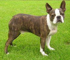 Acerca de Boston Terrier perros