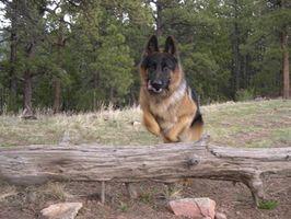 Entrenamiento del perro canino de la policía