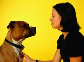 Cómo entrenar a un Pitbull Red Nose