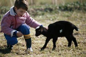 Cómo Halter romper una cabra