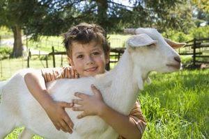 Cómo domesticar a una cabra