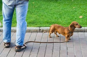 ¿Cómo de entrenar a un perrito del Dachshund