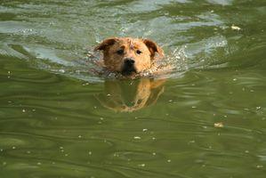 Remedios caseros para evitar que los perros Obtención del oído de nadador