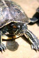 Cómo saber la diferencia entre una hembra o macho tortuga