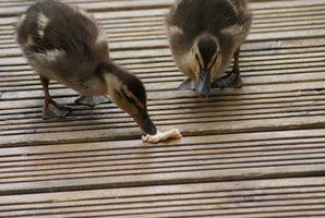 ¿Los patos del bebé comer comida Worms?