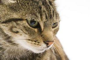 ¿Por qué los gatos volcar los jefes?