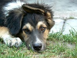 Medicamentos para la diarrea del perro