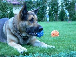 La ansiedad por separación en perros adoptados