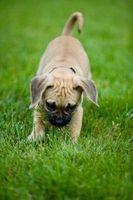 Cómo entrenar a un perrito de Ocho Semanas