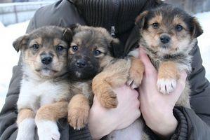 El tratamiento de los anquilostomas en perros