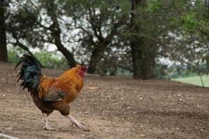Una lista de las razas de pollo que son buenos para los huevos