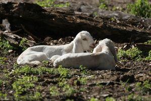 ¿Cómo se caliente Sustituto de leche para mi bebé cabra
