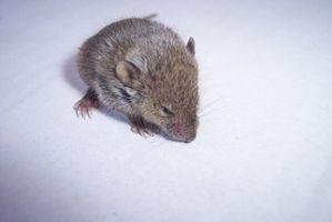 Mascotas Ratones y Enfermedades de la Piel