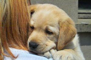 Cómo cuidar a un perrito del laboratorio amarillo