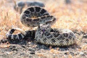 ¿Cómo saber la edad de una serpiente de cascabel