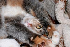 Problemas de los ojos felinos y ungüentos con antibióticos