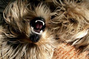 Cómo quitar placa en los dientes del perro