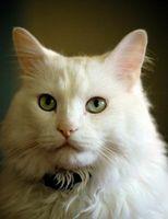 Razas que son los gatos polidactilia