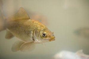 Cómo alimentar larvas de mosquitos en Goldfish