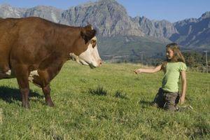 Cómo saber cuando una vaca becerro