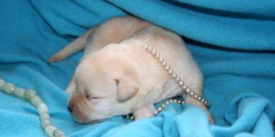 Cómo cuidar a los cachorros recién nacidos débiles