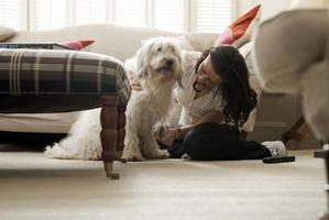 Cómo hacer que un perro huele mal oler bien sin agua